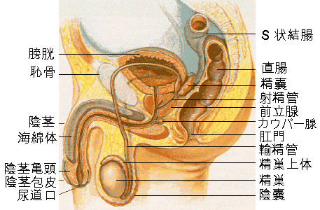 Male_reproductive_system_lateral_ja